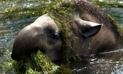 Tapir full hd wallpapers