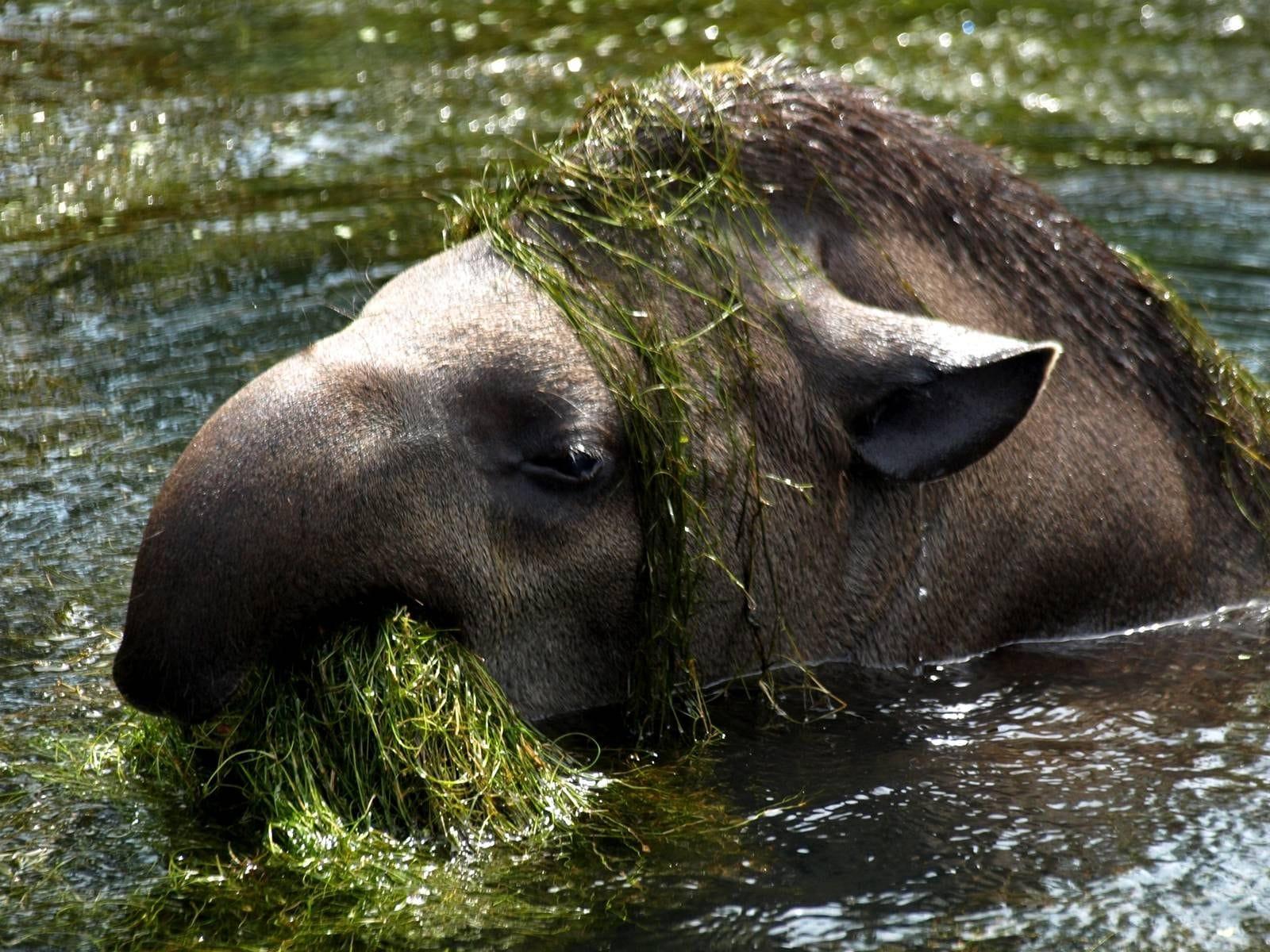 Tapir full hd wallpapers