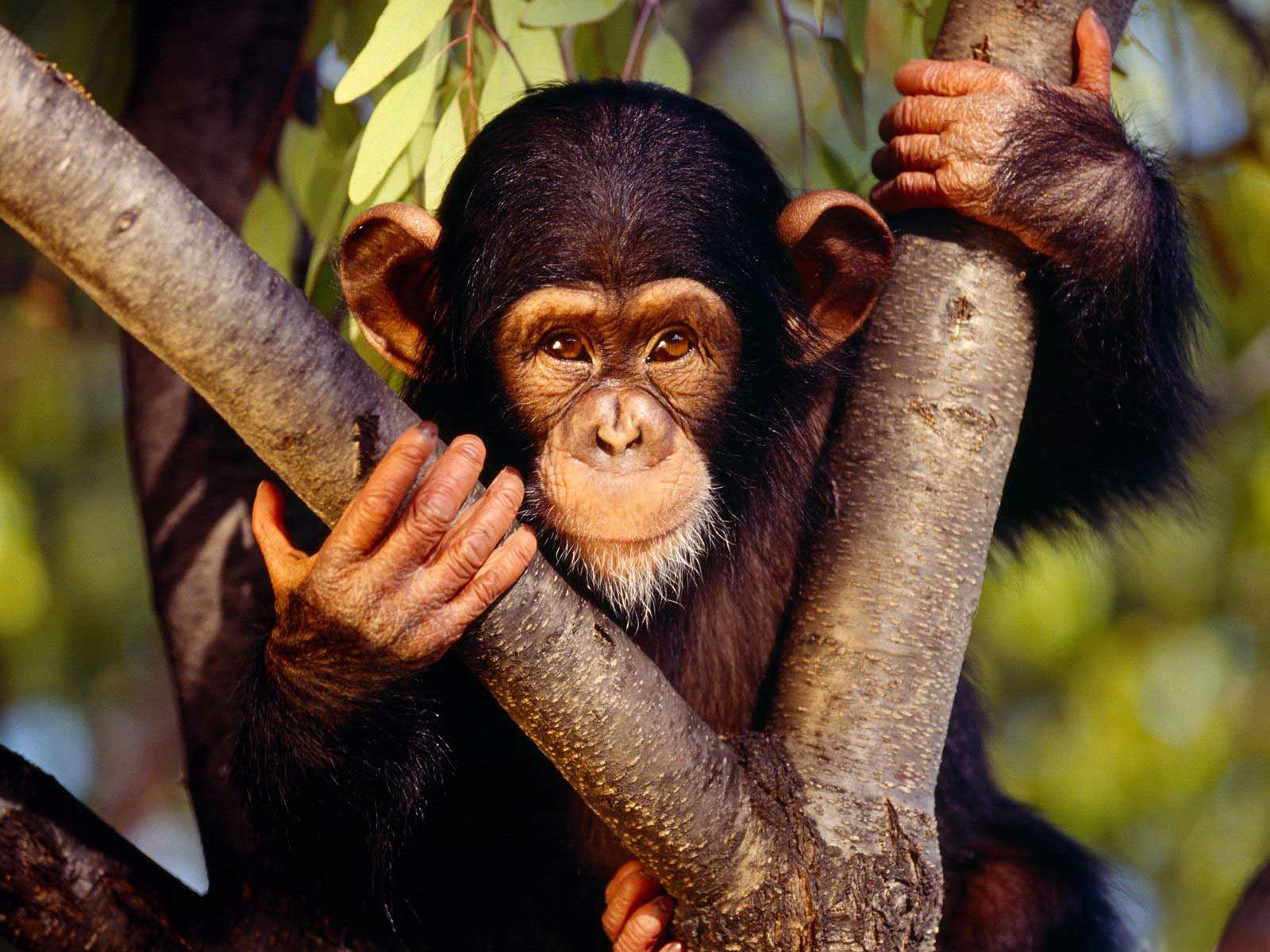 Chimpanzee widescreen wallpapers