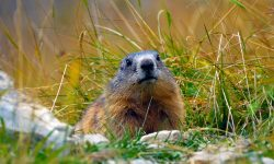 Marmot widescreen wallpapers