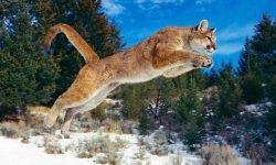 Puma widescreen wallpapers