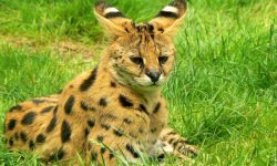 Serval widescreen wallpapers