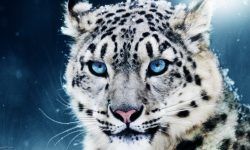 Snow Leopard widescreen wallpapers