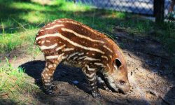 Tapir widescreen wallpapers