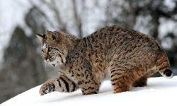 Lynx for mobile