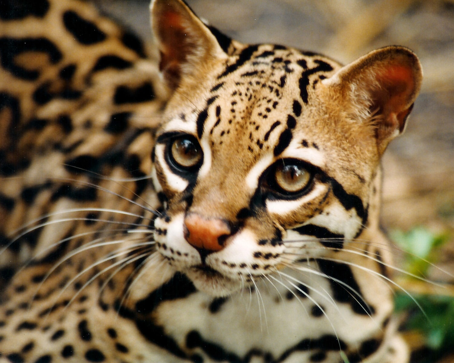 Ocelot for mobile