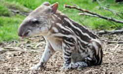 Tapir for mobile