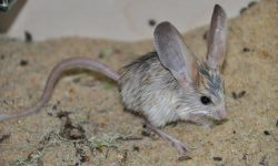 Jerboa widescreen for desktop