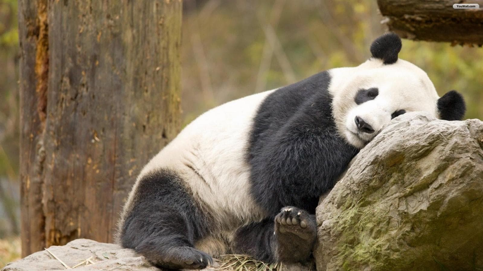 Panda full hd wallpapers