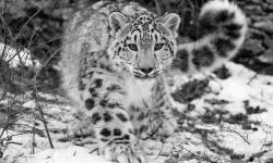 Snow Leopard widescreen for desktop