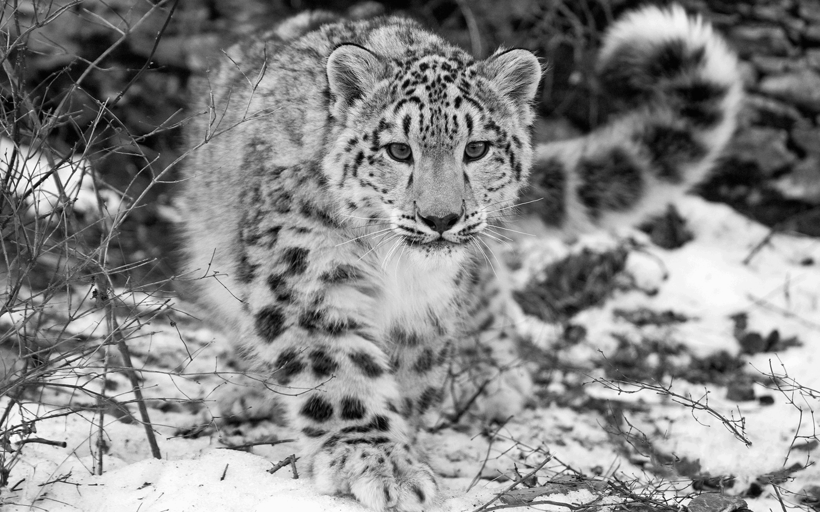 Snow Leopard widescreen for desktop
