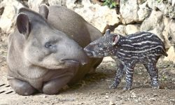 Tapir widescreen for desktop