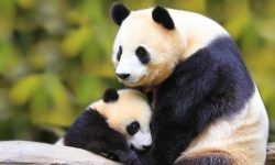 Panda widescreen wallpapers