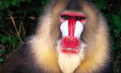 Baboon Wide wallpapers