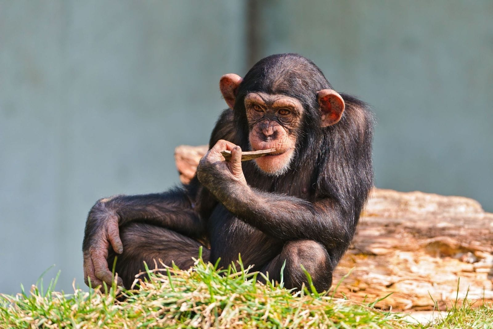 Chimpanzee Wide wallpapers