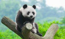 Panda for mobile