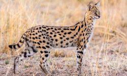 Serval HD