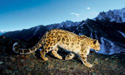 Snow Leopard Wide wallpapers