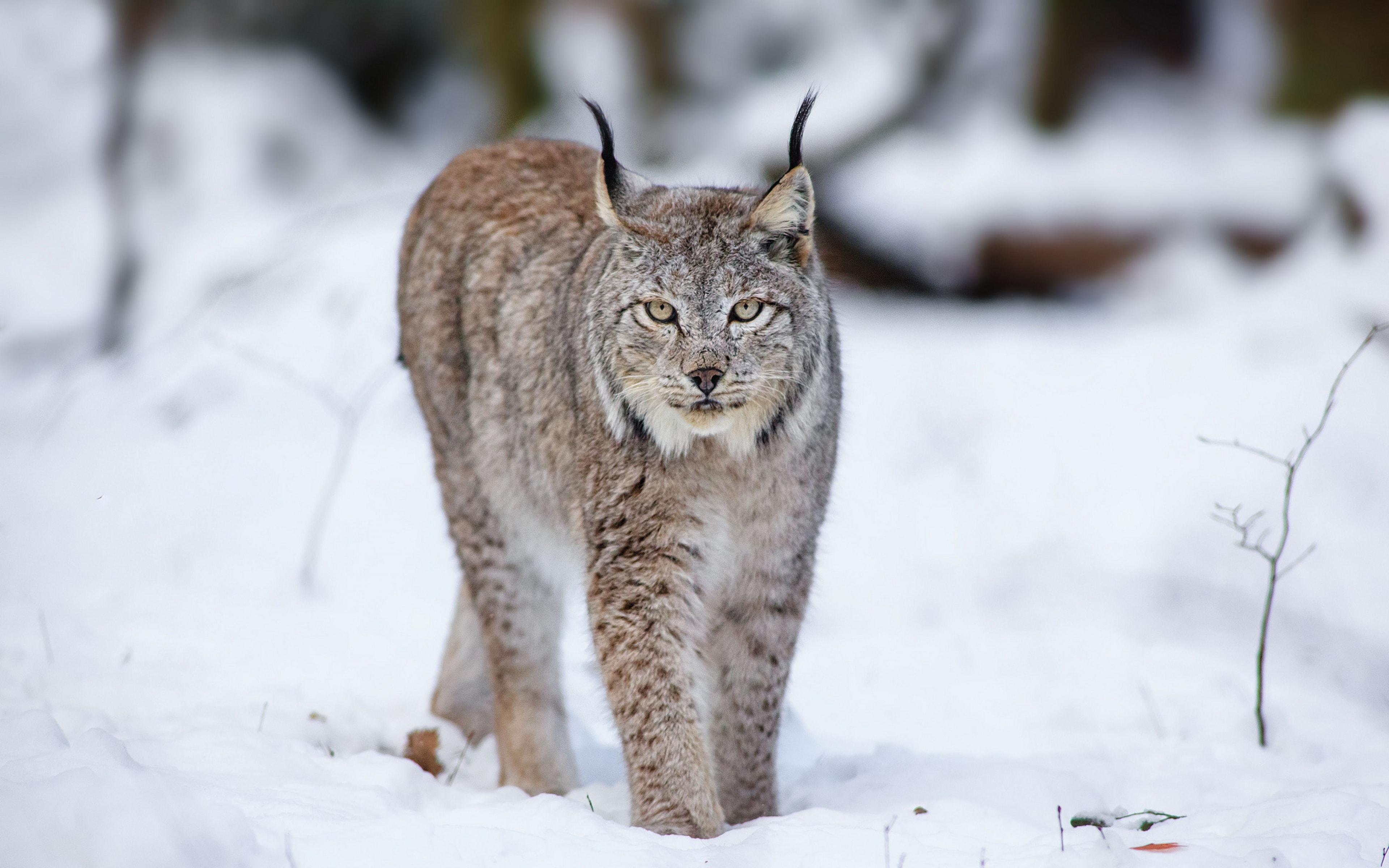 Lynx High