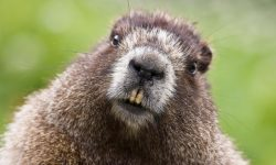 Marmot High