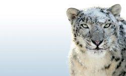 Snow Leopard High