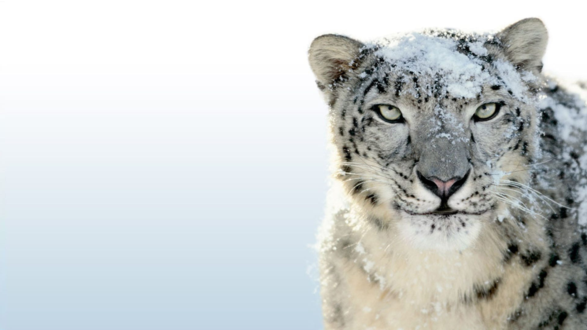 Snow Leopard High