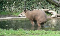 Tapir High