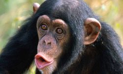 Chimpanzee HD
