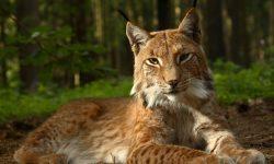 Lynx HD