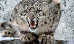 Snow Leopard HD