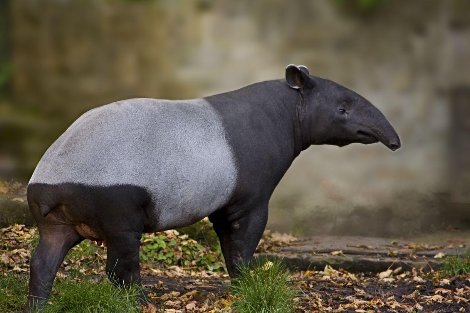 Tapir HD