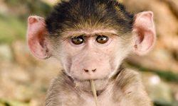Baboon Free