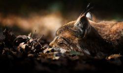 Lynx Free
