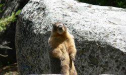 Marmot Free