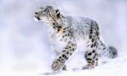 Snow Leopard Free