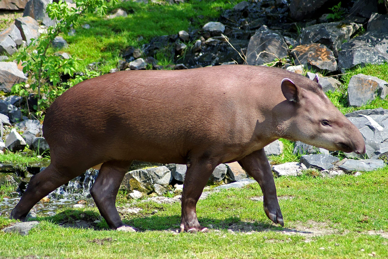 Tapir Free