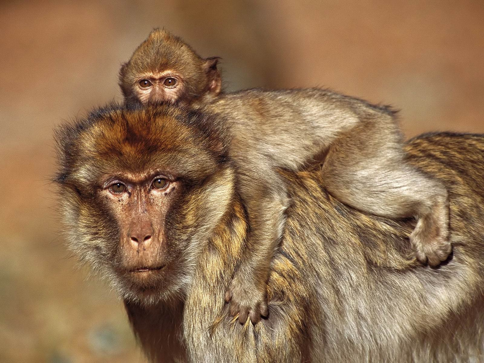 Baboon Desktop wallpapers