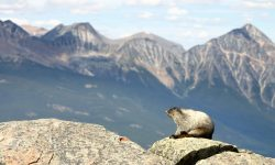 Marmot Desktop wallpapers