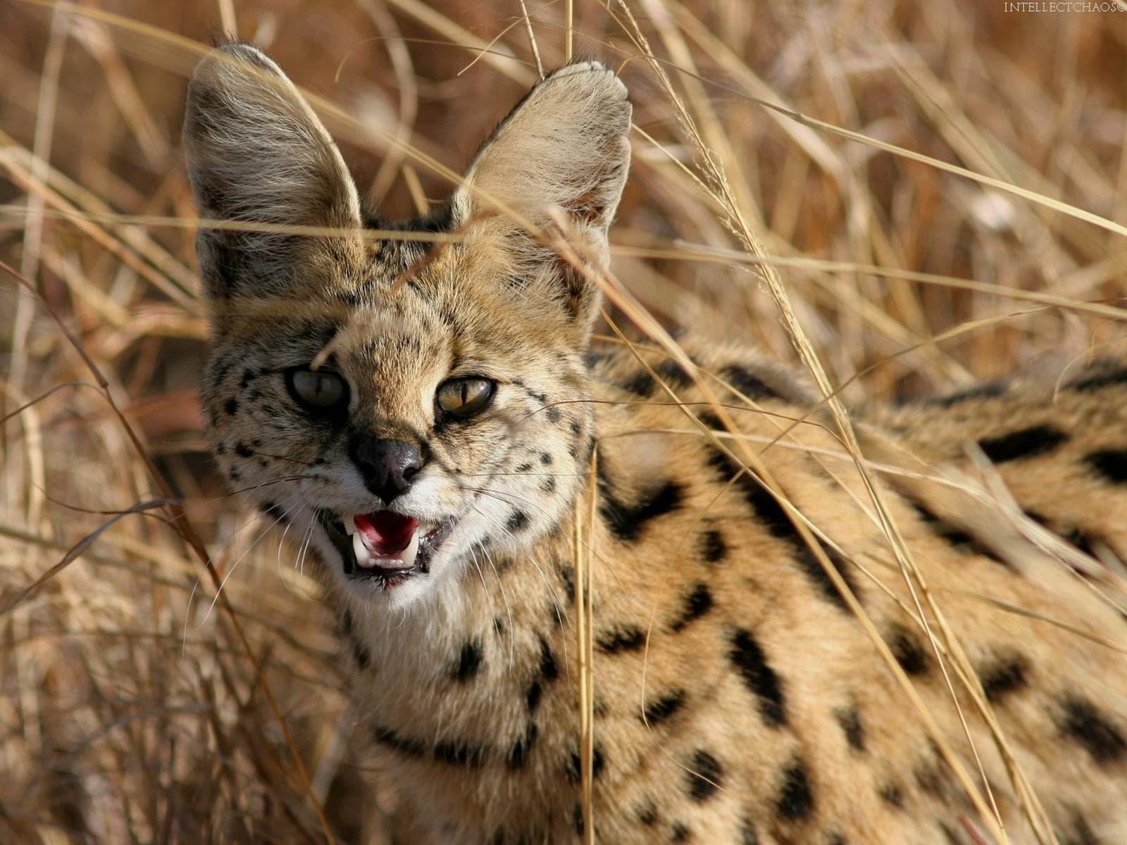 Serval widescreen