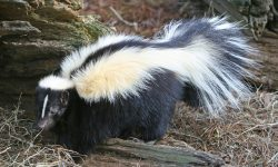 Skunk widescreen
