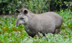 Tapir Desktop wallpapers