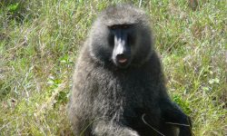 Baboon Wallpapers