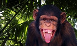 Chimpanzee Wallpapers