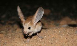 Jerboa Wallpapers