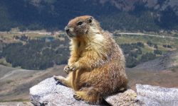Marmot Wallpapers