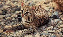 Ocelot Wallpapers