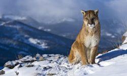 Puma Wallpapers