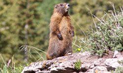 Marmot widescreen