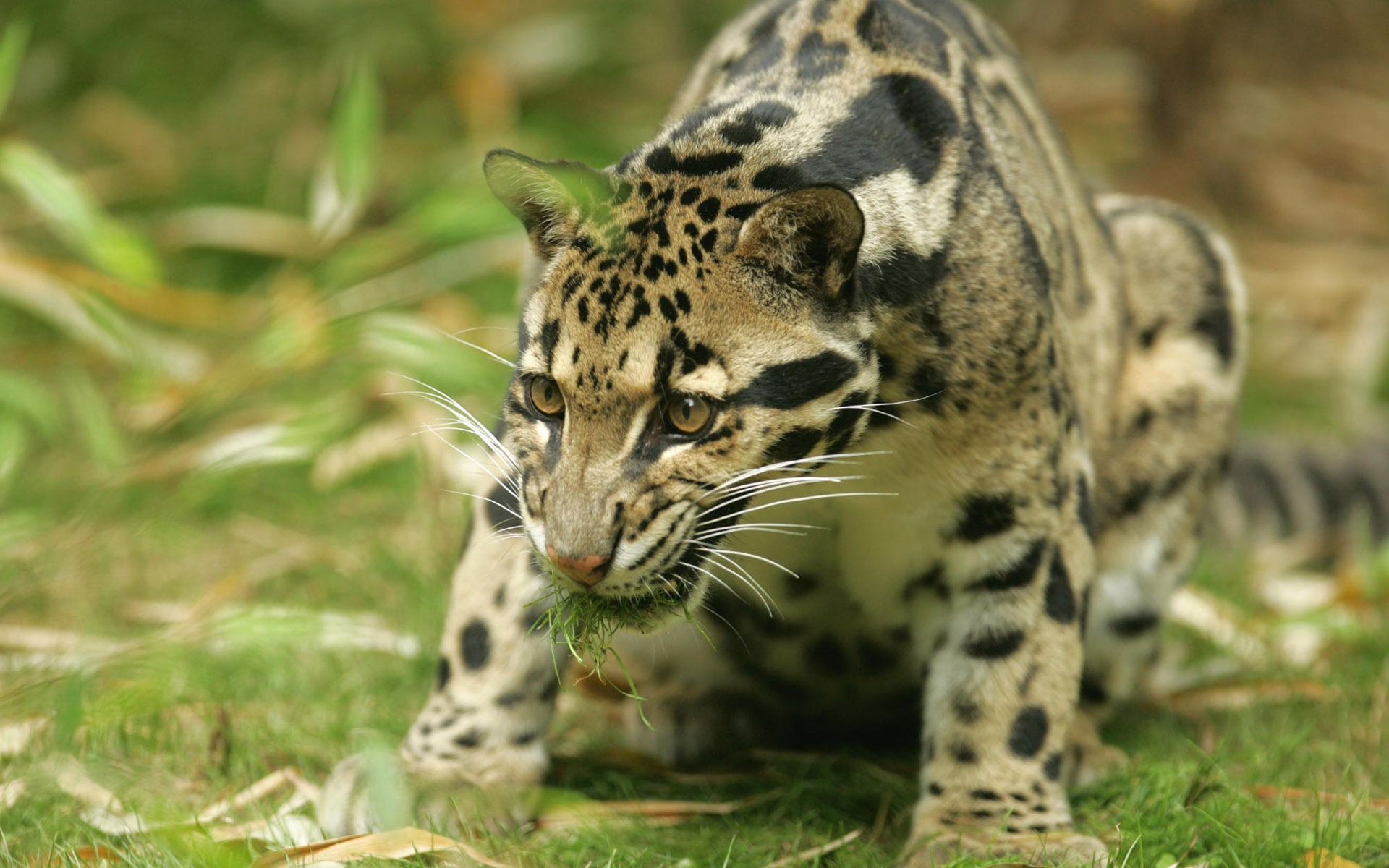 Ocelot widescreen