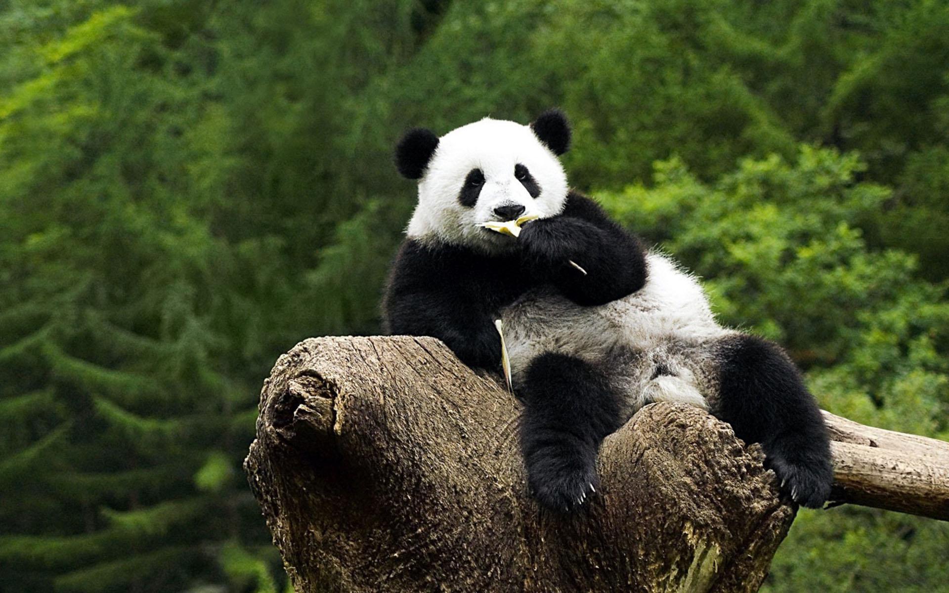Panda HD Wallpapers | 7wallpapers.net